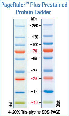 Pageruler Prestained Protein Ladder Plus Abo Odczynniki